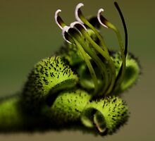 Macropidia fuliginosa  by andrachne