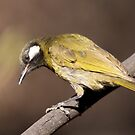 White-eared Honeyeater 6 by Kerryn Ryan, Mosaic Avenues