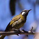 White-eared Honeyeater 5 by Kerryn Ryan, Mosaic Avenues
