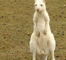 Albino Kangaroo by Julia Harwood