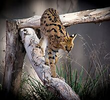 Young Serval by Gerard Rotse