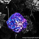 Hydrangeas by Paul Howarth