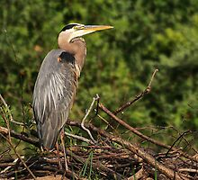 Heron On the Dam by Kathy Weaver