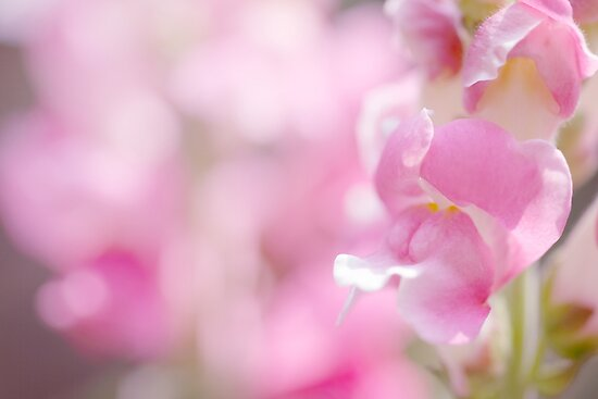 Snapdragons by PhotoTamara
