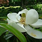 Beautiful Magnolia~ by Virginian Photography (Judy)