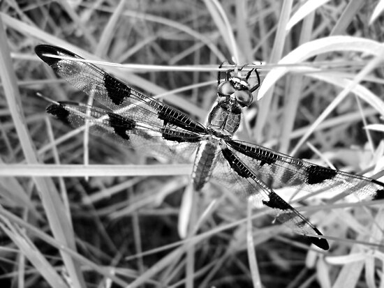 Black and White Dragonfly by lindsycarranza
