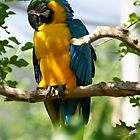 Blue and yellow macaw preening at the zoo by agenttomcat