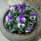 Beautiful Purple and White Pansies by Jane Neill-Hancock