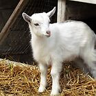 Little white goatling by Susanna Hietanen