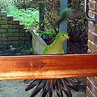King Parrot at my door - Gippsland Australia by Bev Pascoe