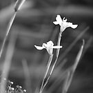 Some type of white flower in Black and White.. by Glynn Jackson