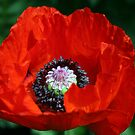 Red Poppy by hjaynefoster