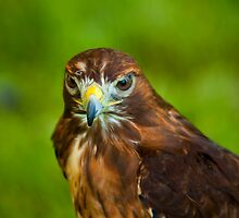 Red Tailed Hawk by Richard Lee