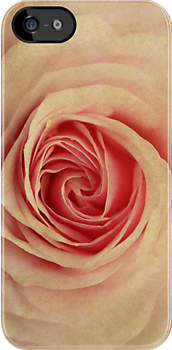 Parchment Rose by Kerry McQuaid