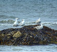 Gulls On A Rock by VoluntaryRanger