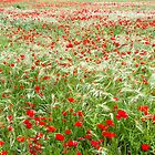 Poppy fields by Jessy Willemse
