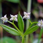 Common Bedstraw - Galium aparine by Digitalbcon
