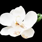 Magnolia on Black by dbvirago