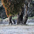Kangaroos of Hill End NSW Australia by Bev Woodman