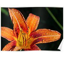 Wet Wild Orange Lily Poster