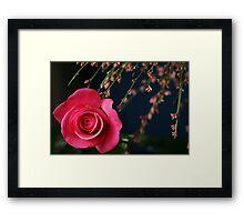 Astounding Blossom ~ Pink Rose Framed Print