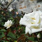White Roses by MishaLouise91