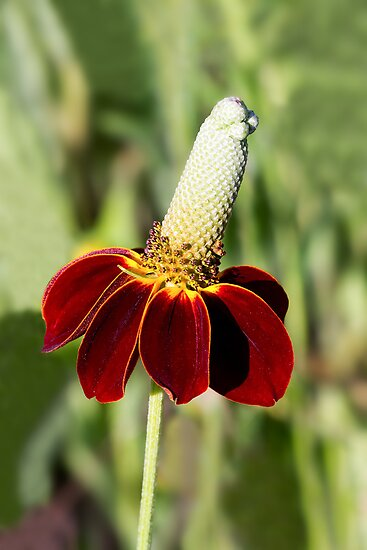 Mexican Hat Flower by Kenneth Keifer