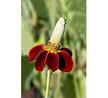 Mexican Hat Flower Photographic Print