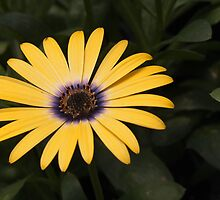 osteospermum as-is by Linda  Makiej Photography
