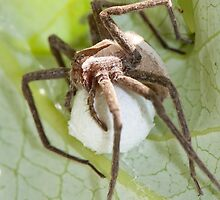 Nursery-web Spider carrying Egg Sac by DigitallyStill