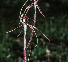 Caledonia filamentos Daddy Long Legs orchid Asses ears road 1989 10090084  by Fred Mitchell