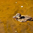 Duckling With His Catch by Josie Eldred