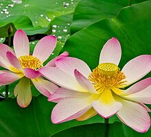 Two Lotus Blossoms and Water Drops by Lightengr