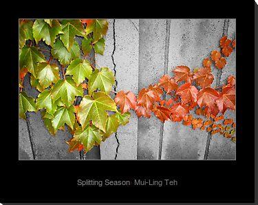 """Splitting Season"" by Mui-Ling Teh"