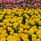 Tulips 13 by photonista