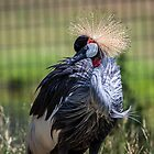 East African Crowned Crane by eegibson
