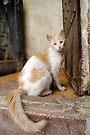 Street Cat, Fes, Morocco by Debbie Pinard