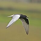 White-Winged Black Tern by Robert Abraham
