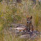 The magic of Arnhem Land - dingo in the bush by georgieboy98