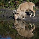 Thirsty Goat by AlMiller