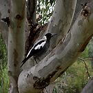 Australian Magpie by SophiaDeLuna