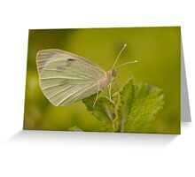 Pieris brassicae Greeting Card