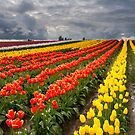 Tulip Storm by DawsonImages