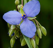 Spiderwort 2 by Thomas Young
