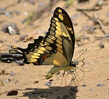 Swallowtail on the lake by Kate Farkas