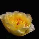 Lemon patio rose ~ just starting to flower by Karen  Betts