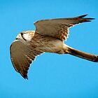 Nankeen Kestrel - Port Macquarie by Steve Randall