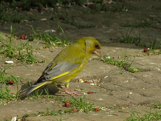 European Greenfinch in the garden by Peter Wiggerman