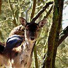 Roe deer by Peter Wiggerman