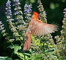 Cardinal Hovering the Texas Lilac by imagetj